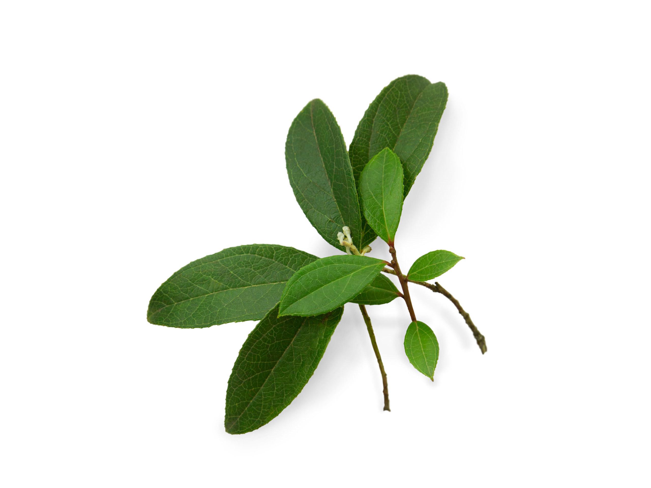 Wintergrün (nepalesisch)